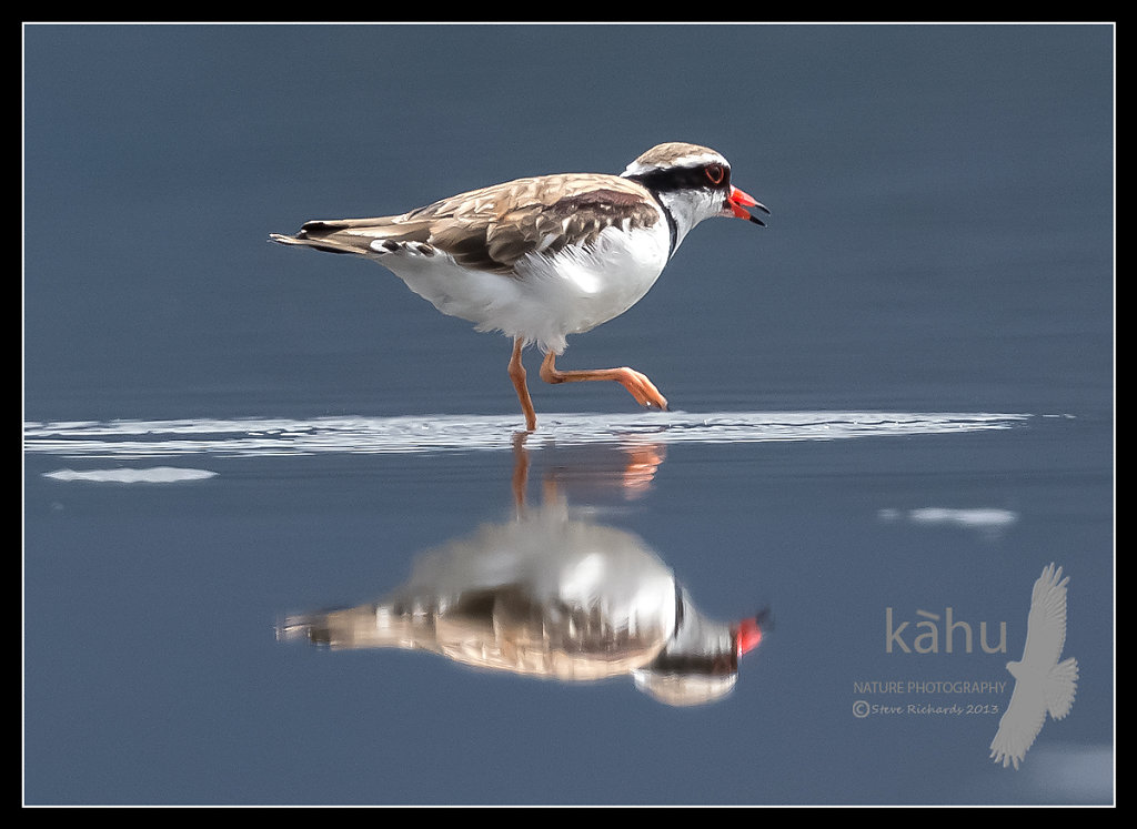 Black fronted Dotterel  Lake Wairarapa  SB28