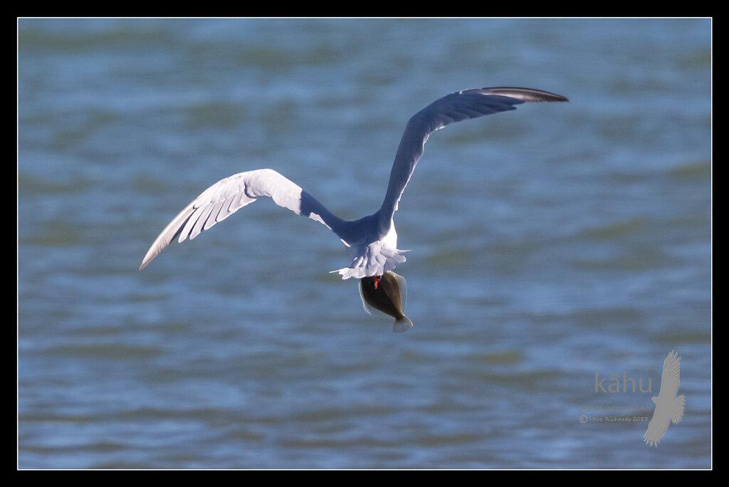 Caspian Tern flys off with a flounder  SB3