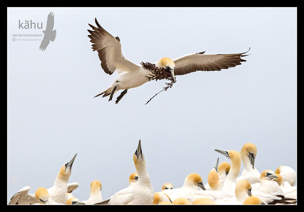 Gannet carrying nesting material, Cape Kidnappers   SB4