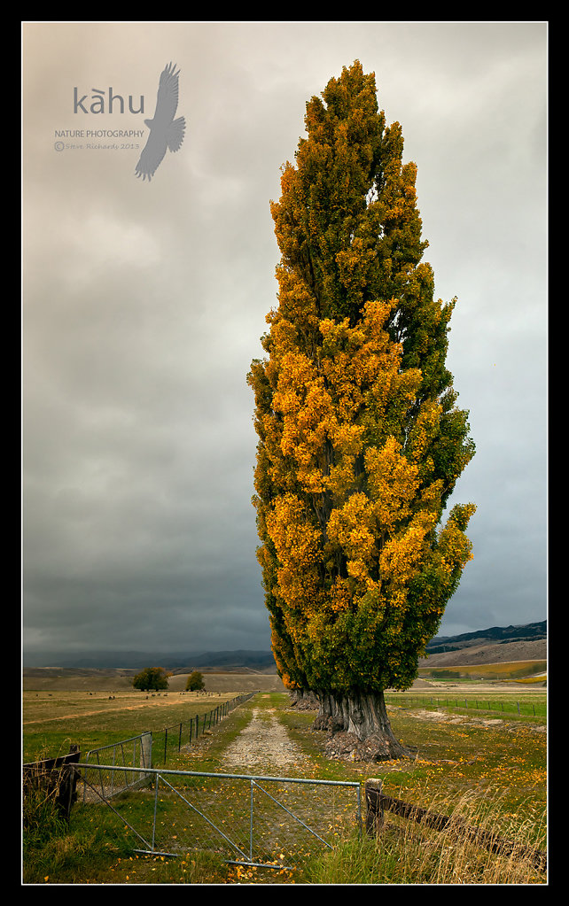 Poplars changing colour  -  L23