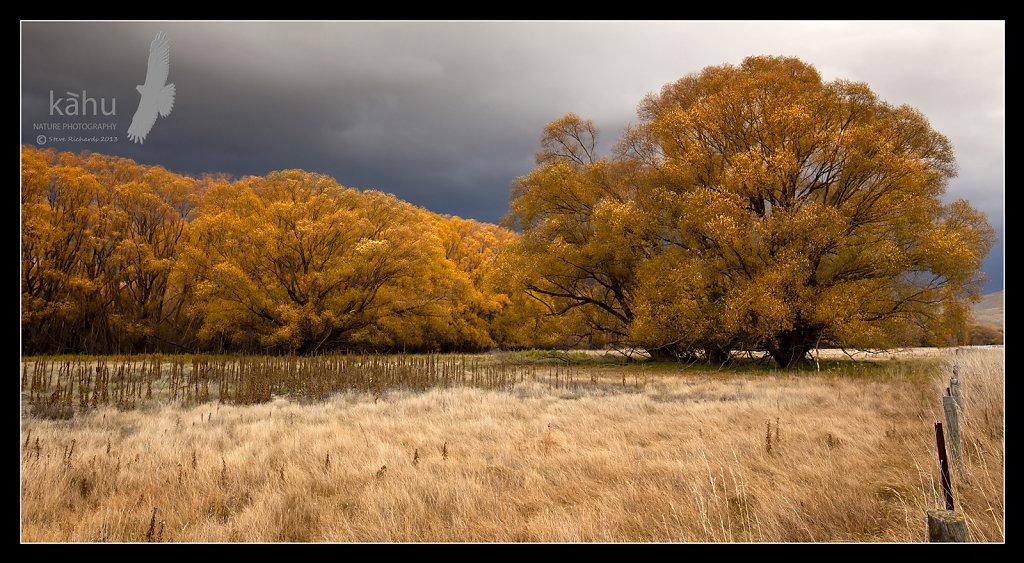 Autumn Gold near Tarras  -  L25