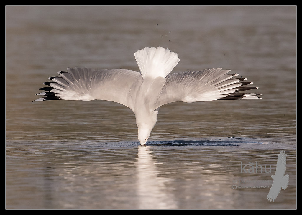 Red Billed Gull diving after crabs   SB19