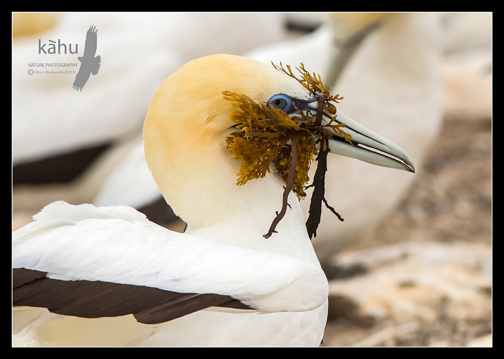 Gannet carrying nesting material, Cape Kidnappers   SB138
