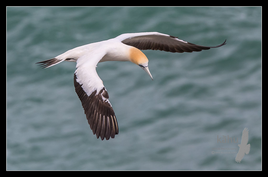 Gannet looking for its mate, Muriwai   SB184