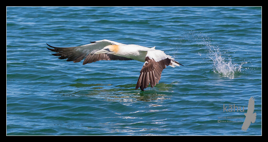 Gannet takes of water after a  unsuccessful dive, Tutukaka   SB177