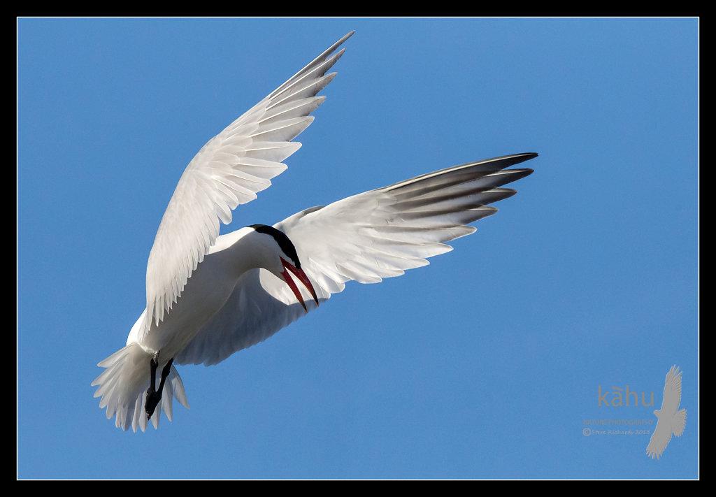 Caspian tern prepares to dive on an intruder  CT13