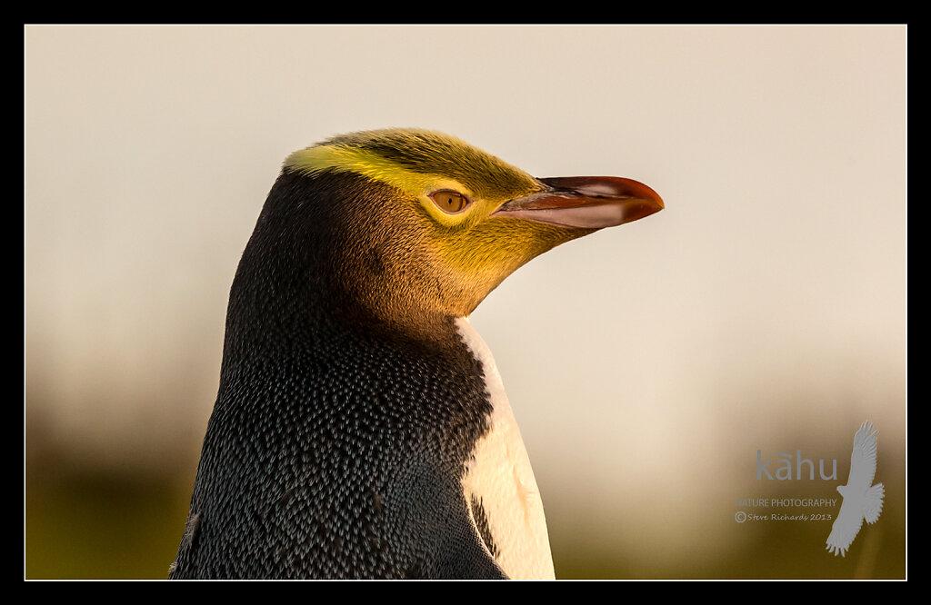 Yellow Eyed Penguin, Moeraki  PG5