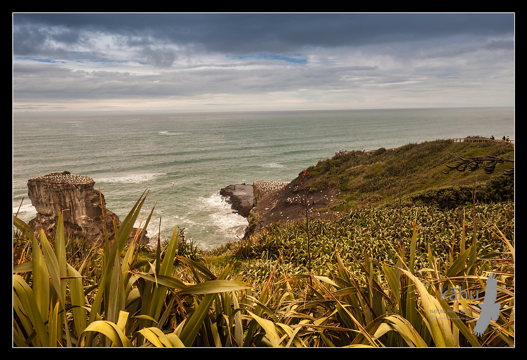 Muriwai Gannet colony,  Auckland  L54