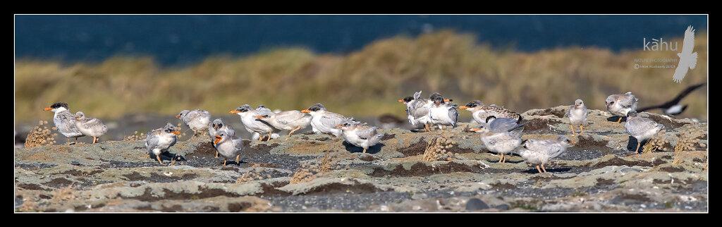 Caspian tern colony at Onoke Spit  CT14