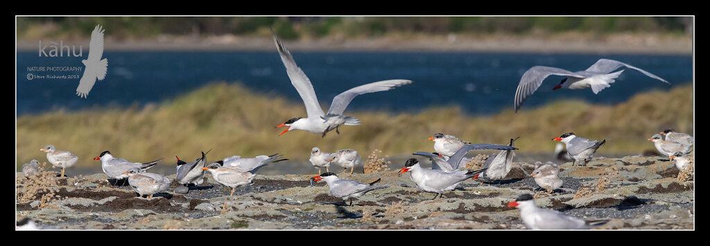 Caspian tern colony at Onoke Spit  CT15