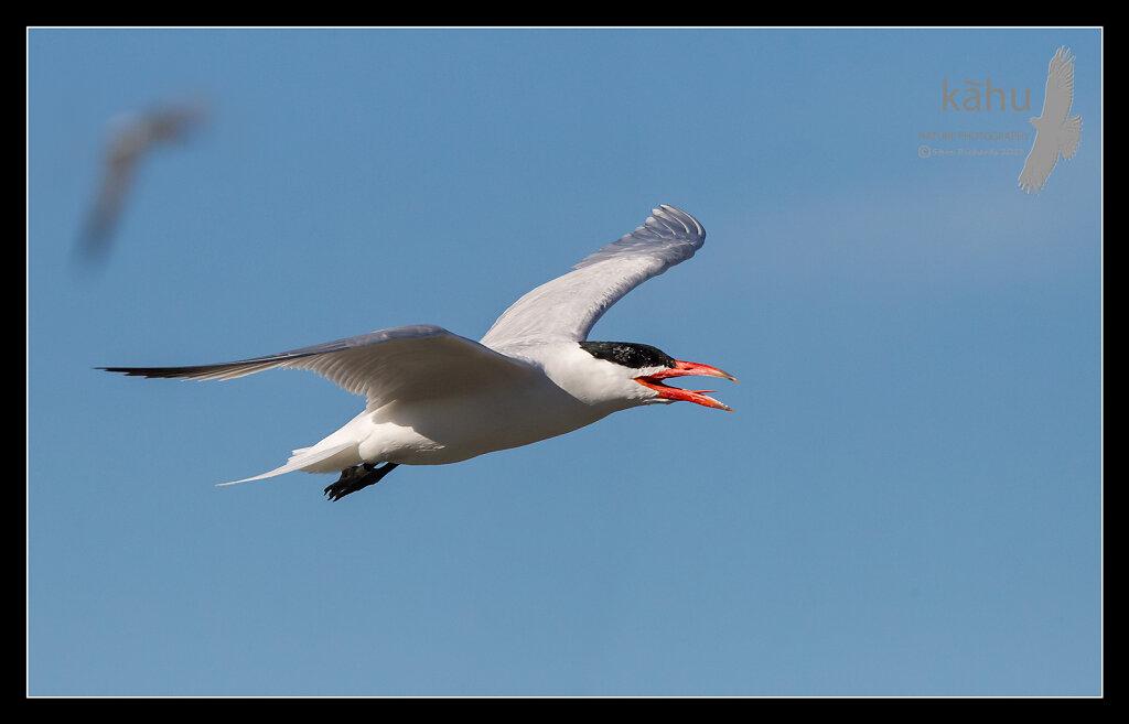 Capsian Tern in flight  CT19