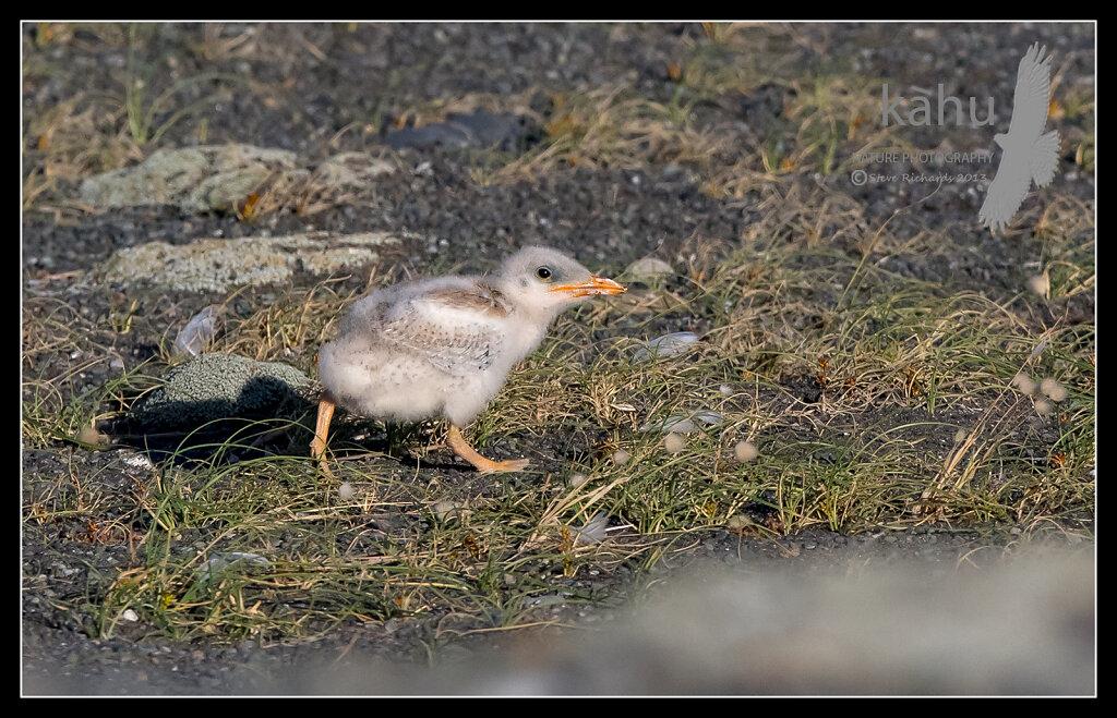 Caspian tern chick at Onoke Spit  CT21