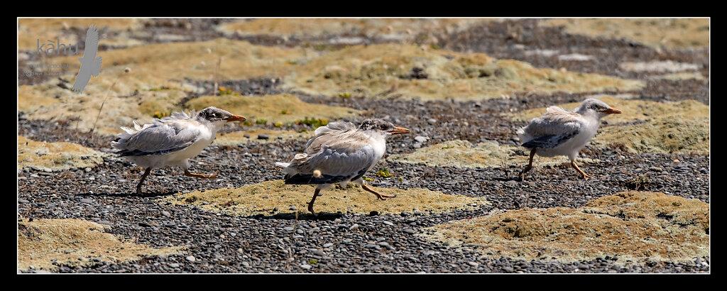 Three Caspian Tern Chicks scarper away  CT25