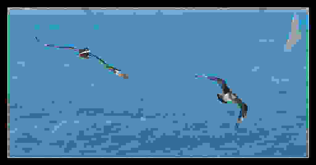 Parasitic Jaeger  gives away the chase  PJ7