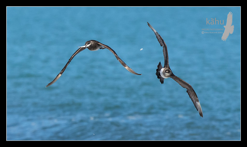 Parasitic Jaeger  chasing one of it's mates who had stolen a fish from a tern  PJ8