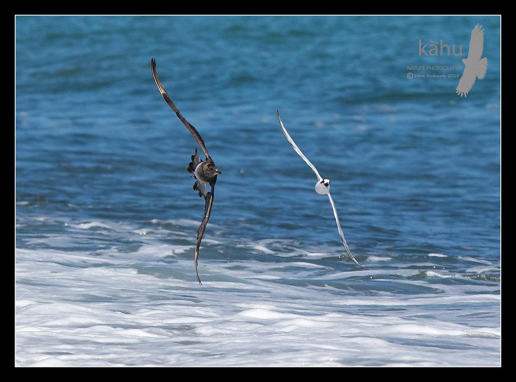 Parasitic Jaeger  chasing White Fronted Tern  PJ9