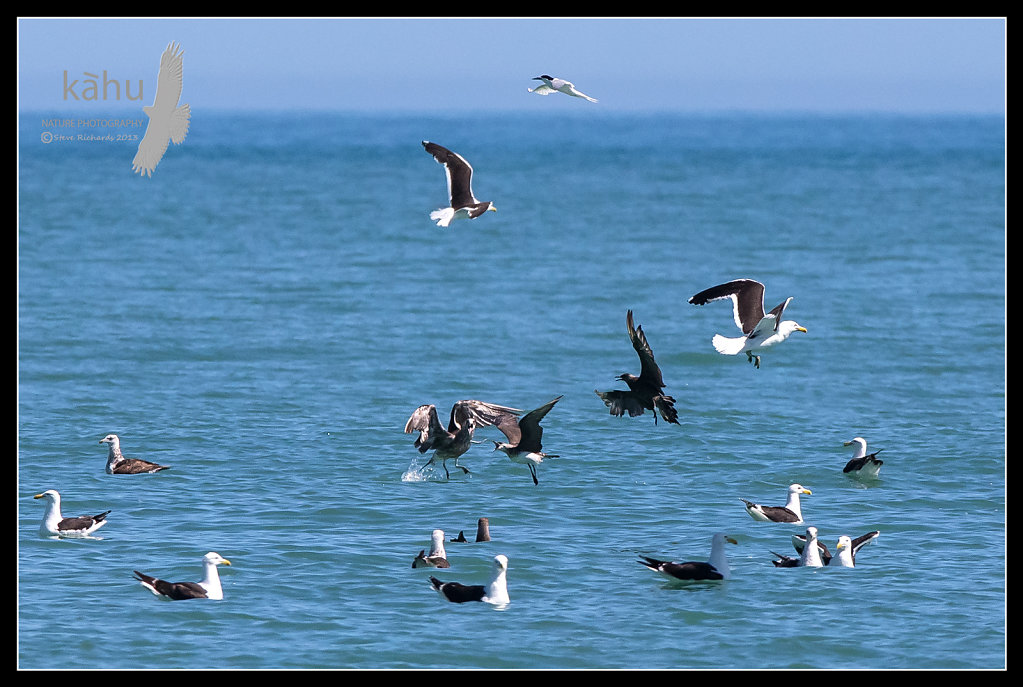 Parasitic Jaeger  makes a tern drop a small fish and now has to contest it with a n immature Black Back Gull  PJ13