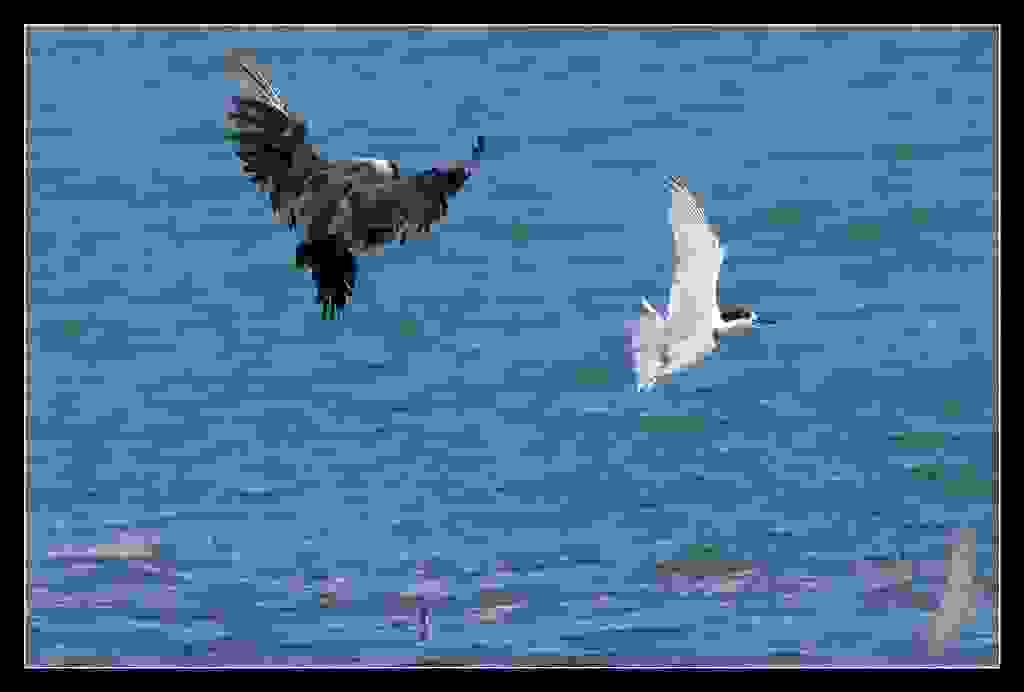 Parasitic Jaeger  makes  White Fronted Tern drop it's small fish.   PJ15