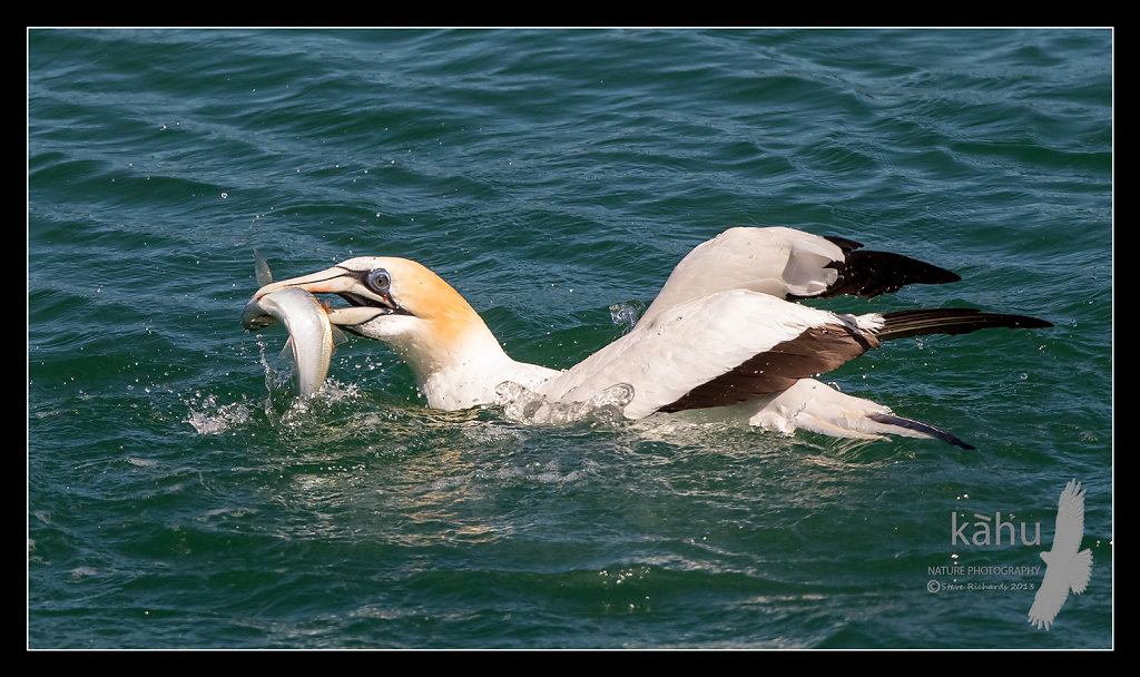 Gannet with a yellowtail, Tutukaka,  SB175