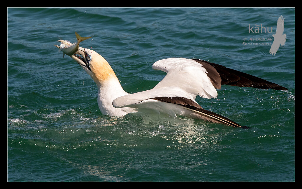 Gannet with a yellowtail, Tutukaka,  SB176