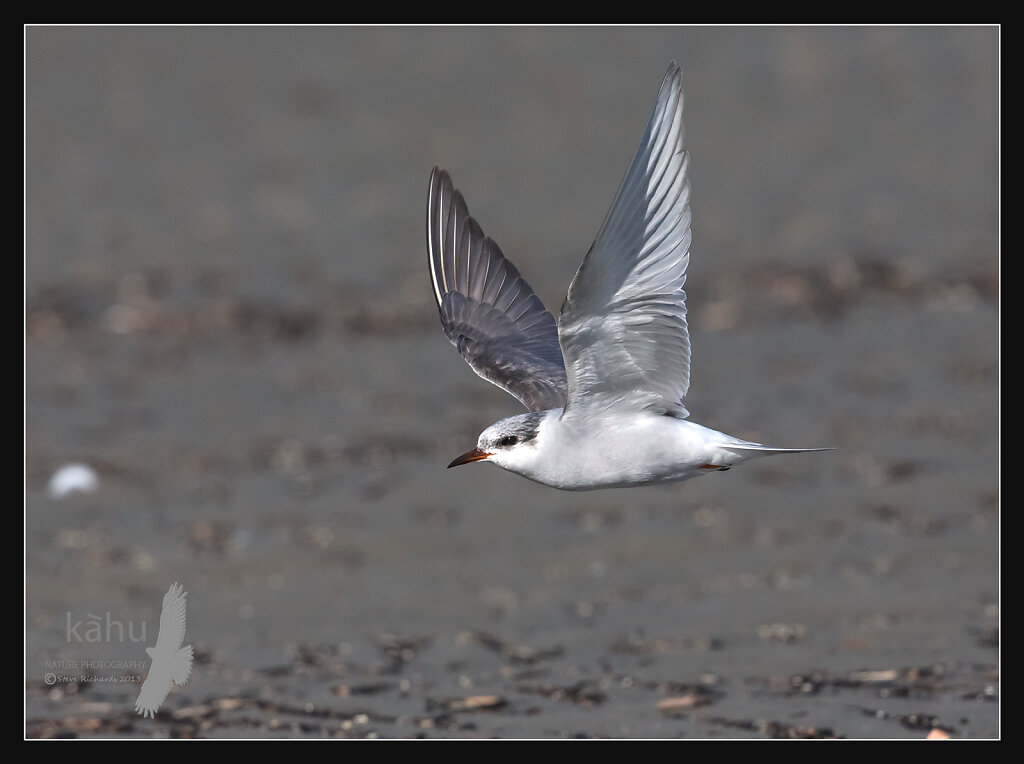 A first winter Black Fronted Tern in flight  SB186