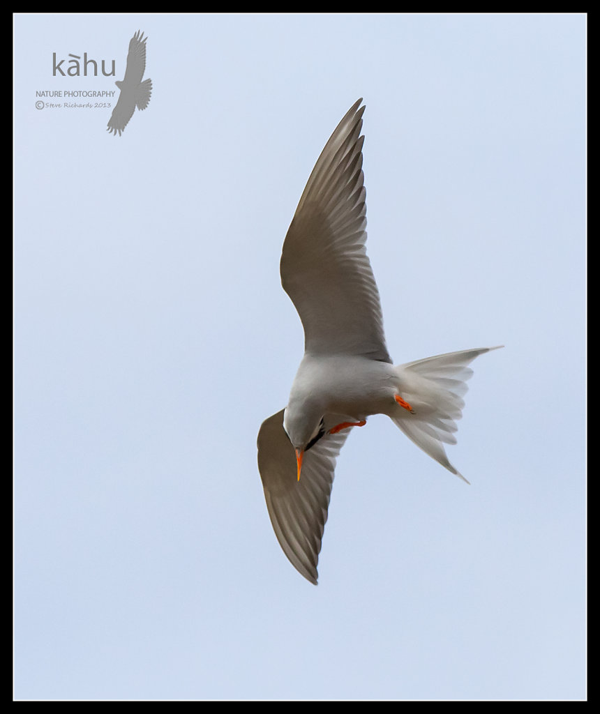 Black Fronted Tern scratches itself in the Ahuriri Valley  SB147