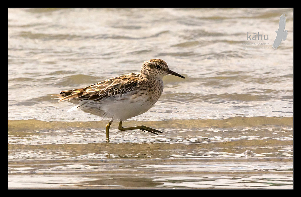 SHARPTAIL SANDPIPER