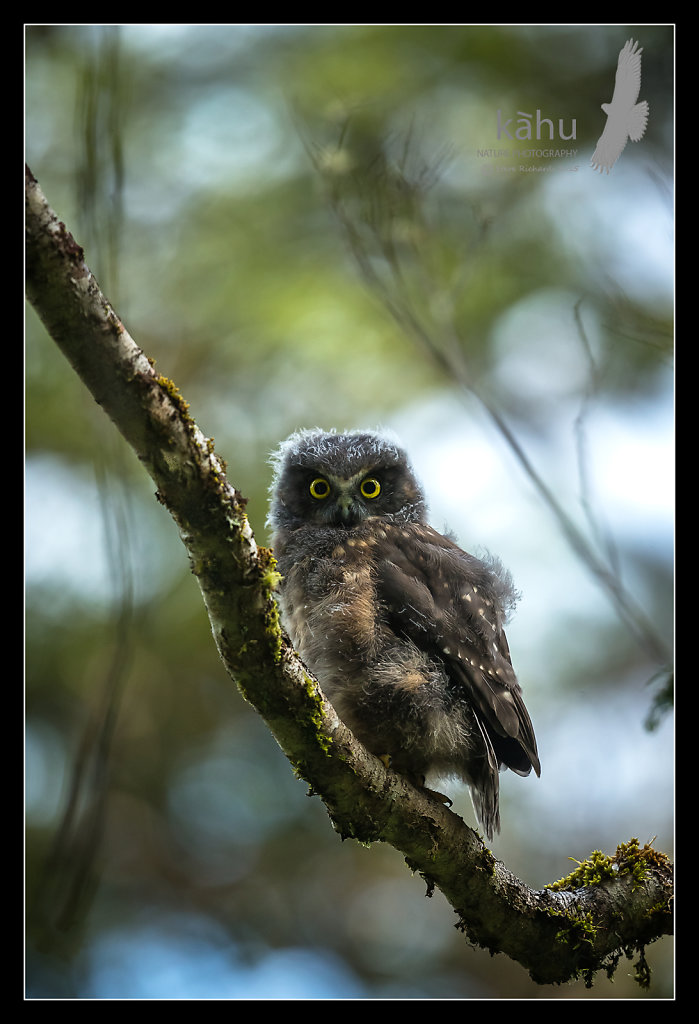 Morepork fledgling roosting high in the forest
