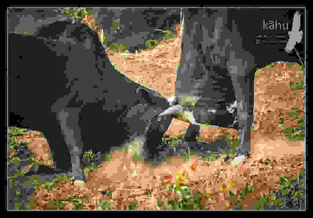 Bulls-fighting.jpg