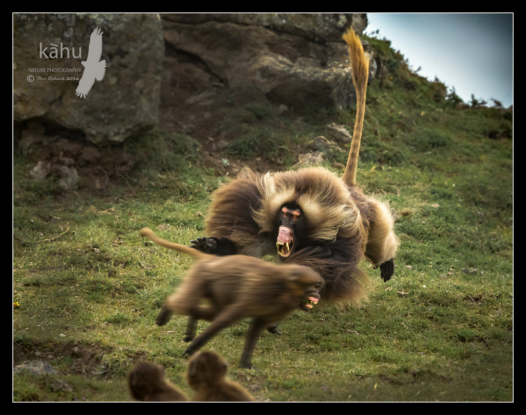 Gelada-Baboon-attack.jpg
