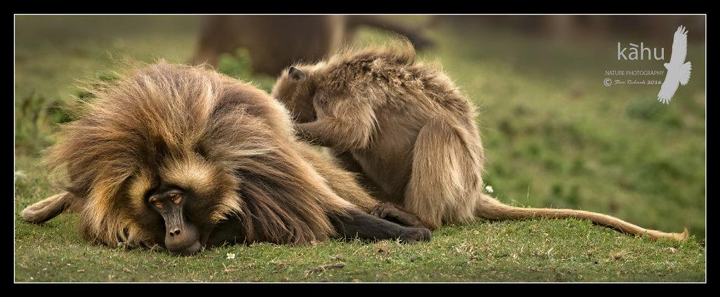 Gelada-Baboons-preening.jpg
