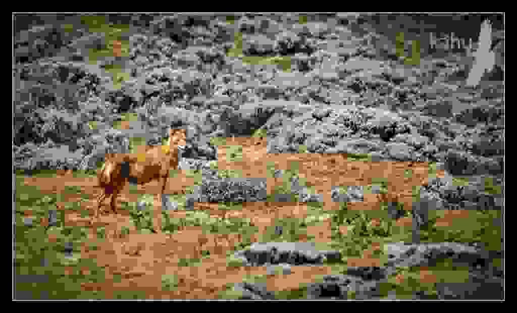 Ethiopian-Wolf2.jpg