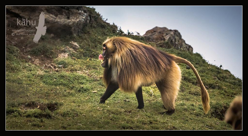 Gelada-Baboon-aggression.jpg