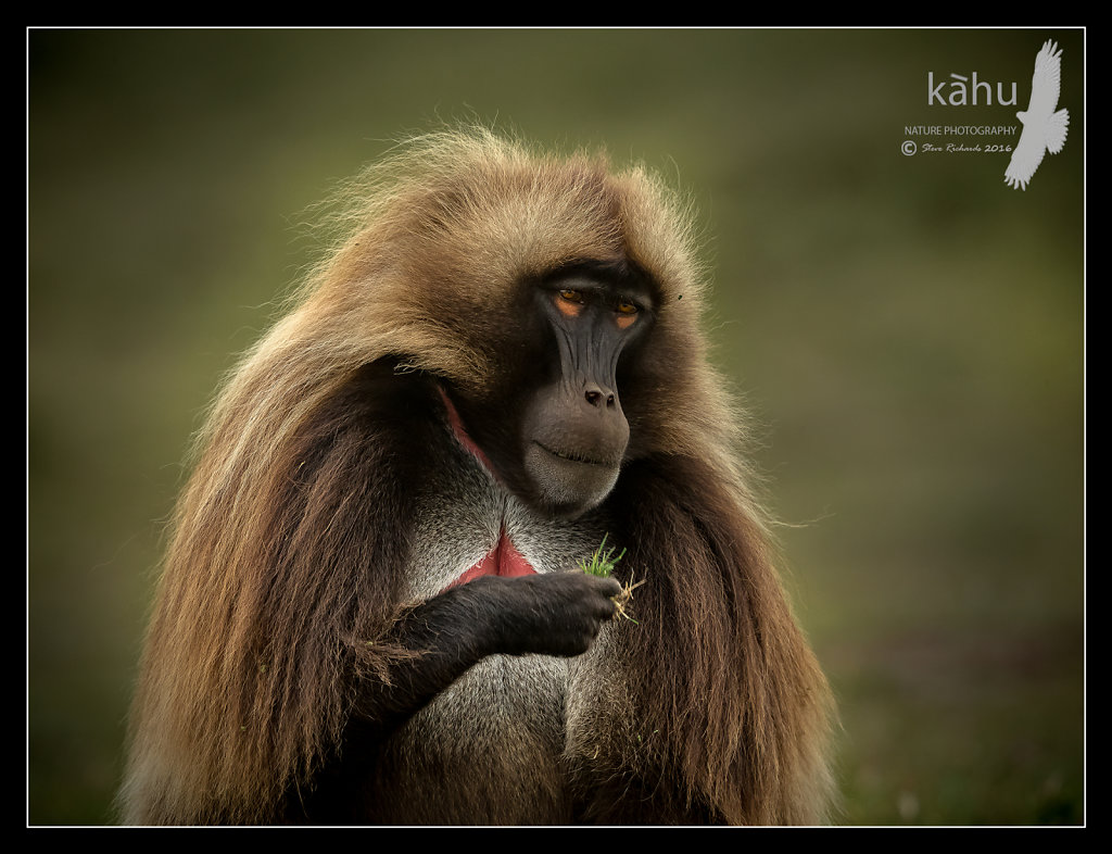 Gelada-Baboon-feeding.jpg