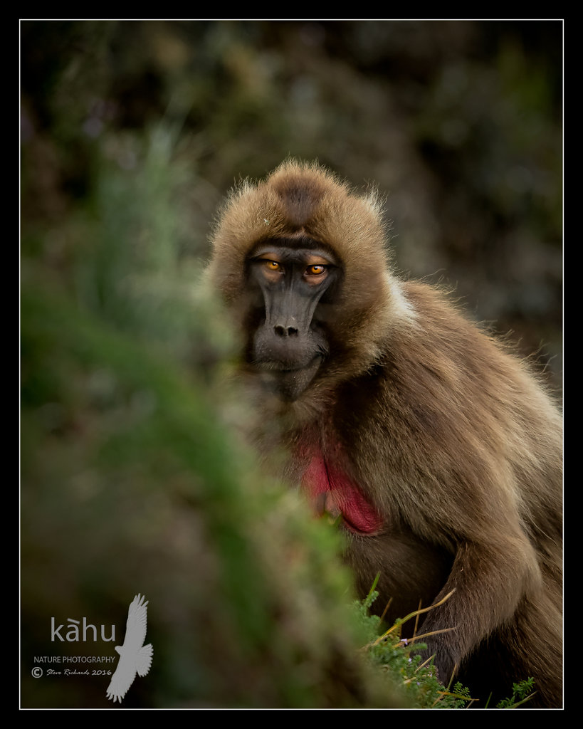 Gelada-Female.jpg