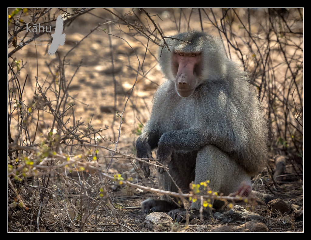 Scared-Baboon.jpg
