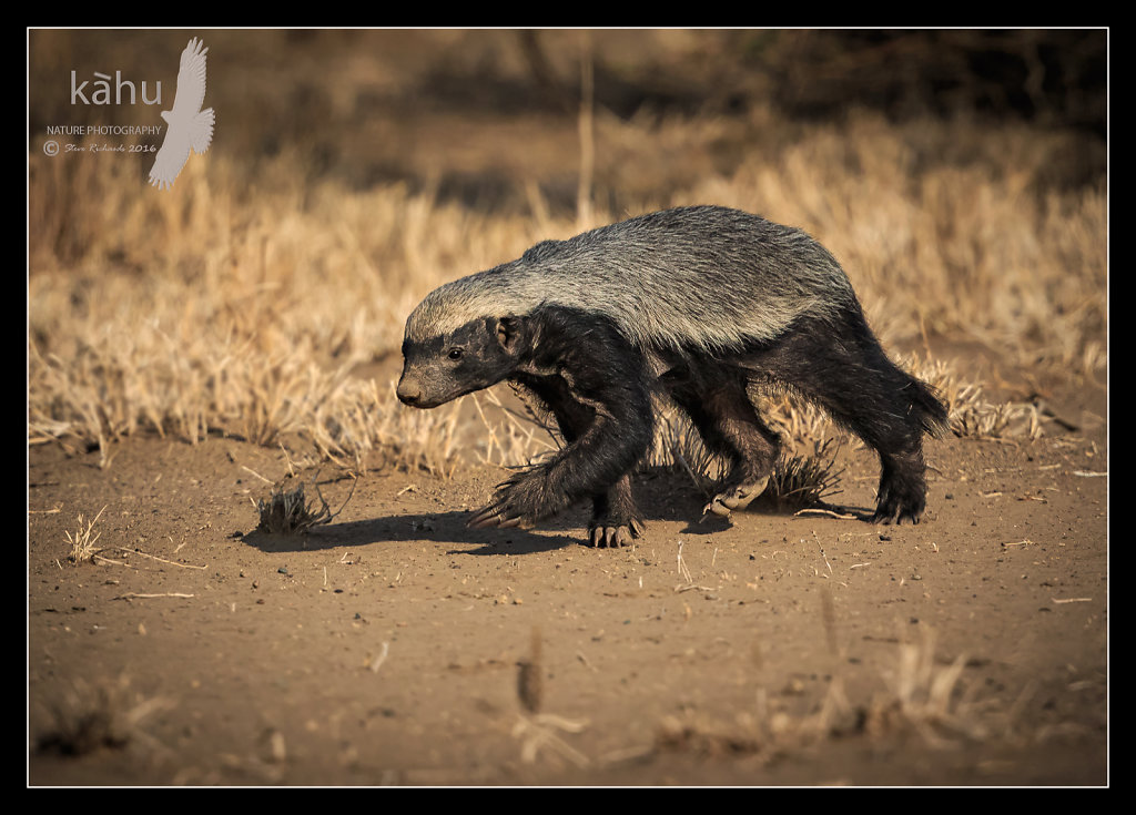 Honey-Badger2.jpg