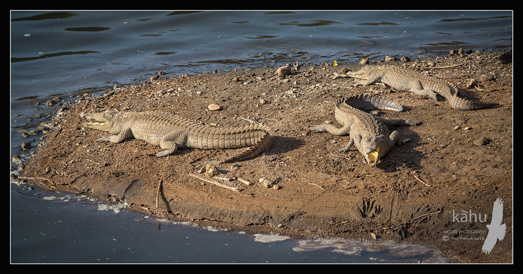 Nile-Crocodiles.jpg
