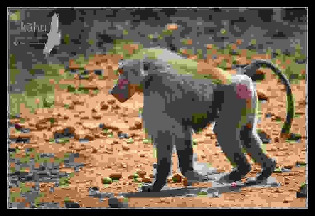 Sacred-Baboon2.jpg