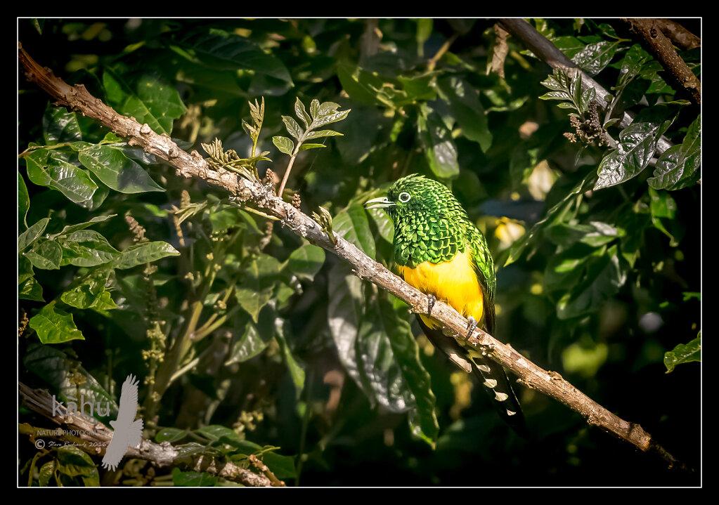 African-Emerald-Cuckoo.jpg