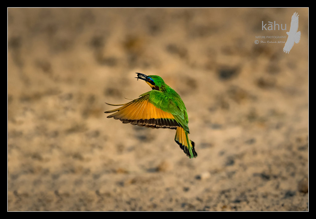 Bee-Eater-catches-a-bee.jpg