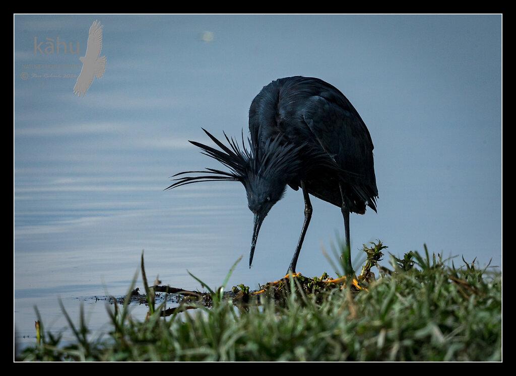 Black-Heron-2.jpg