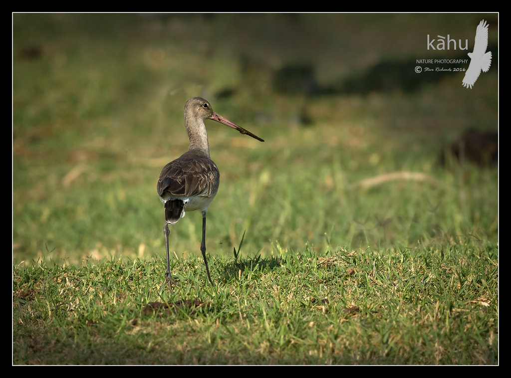 Blacktailed-Godwit.jpg