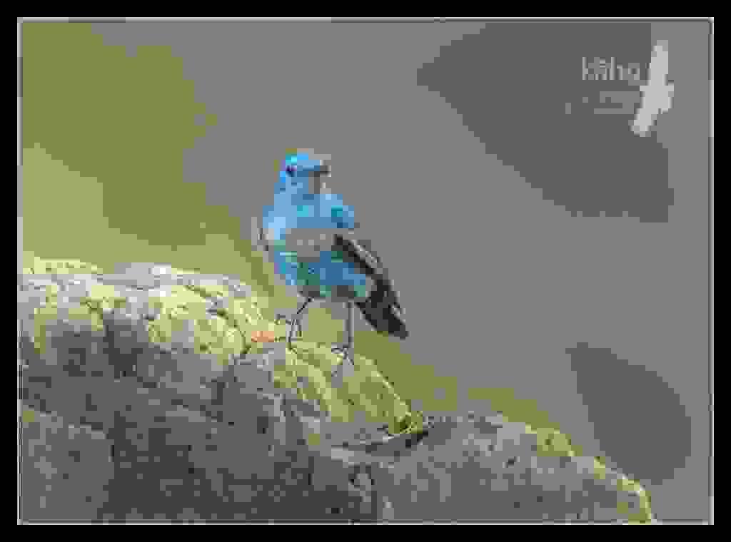 Blue-Rock-Thrush.jpg