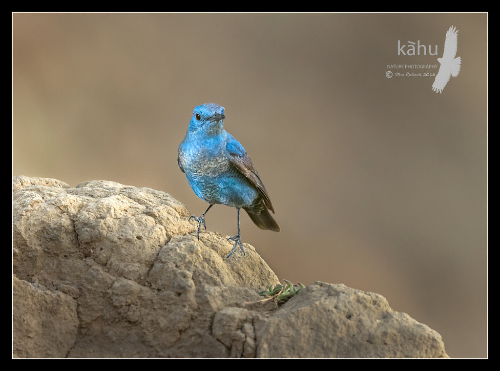 Blue-Rock-Thrush.jpg