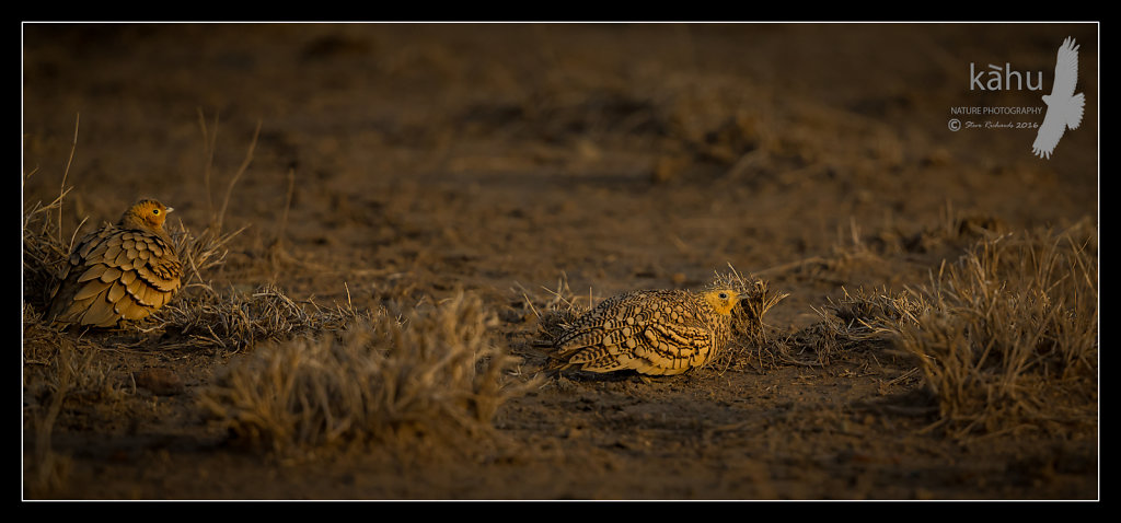 Chestnut-bellied-Sandgrouse.jpg