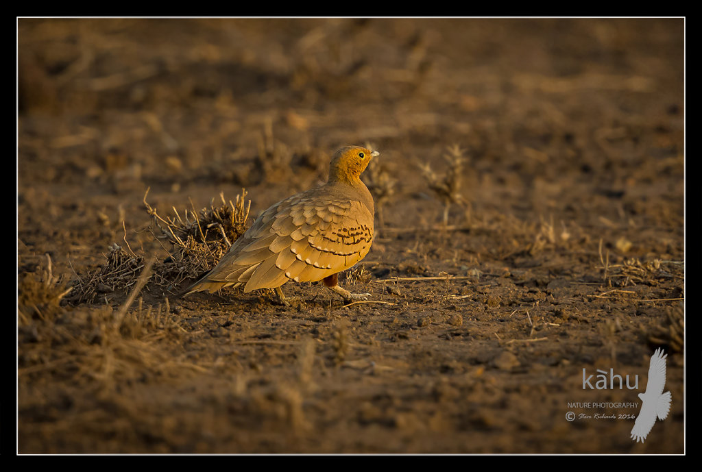 Chestnut-bellied-Sandgrouse2.jpg