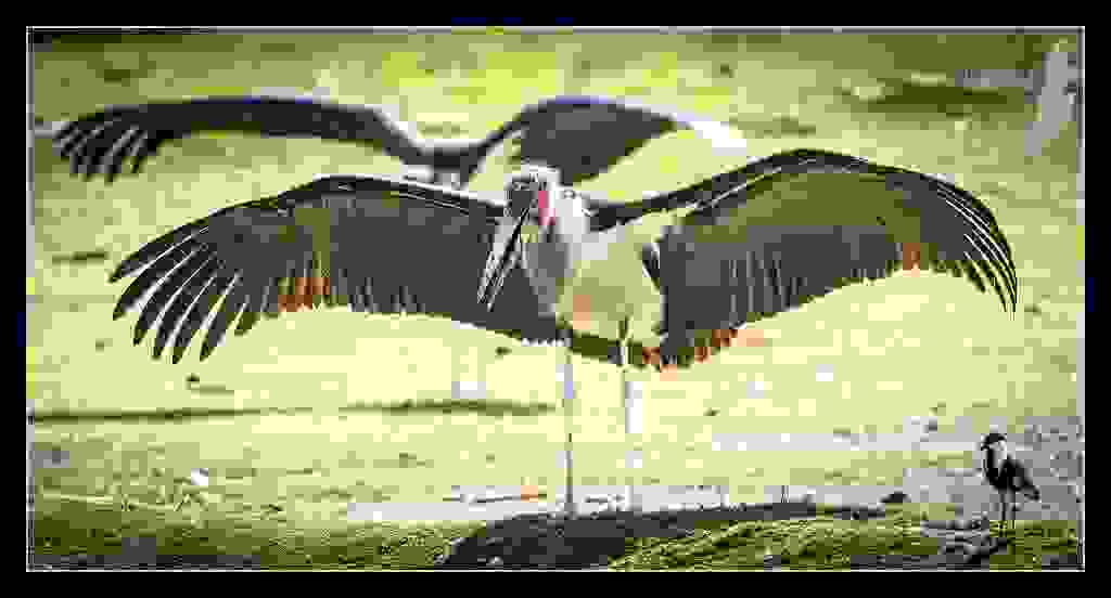 Maribou-Stork.jpg