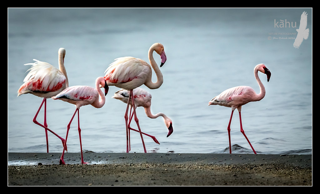 Flamingos-and-lesser-flamingos.jpg
