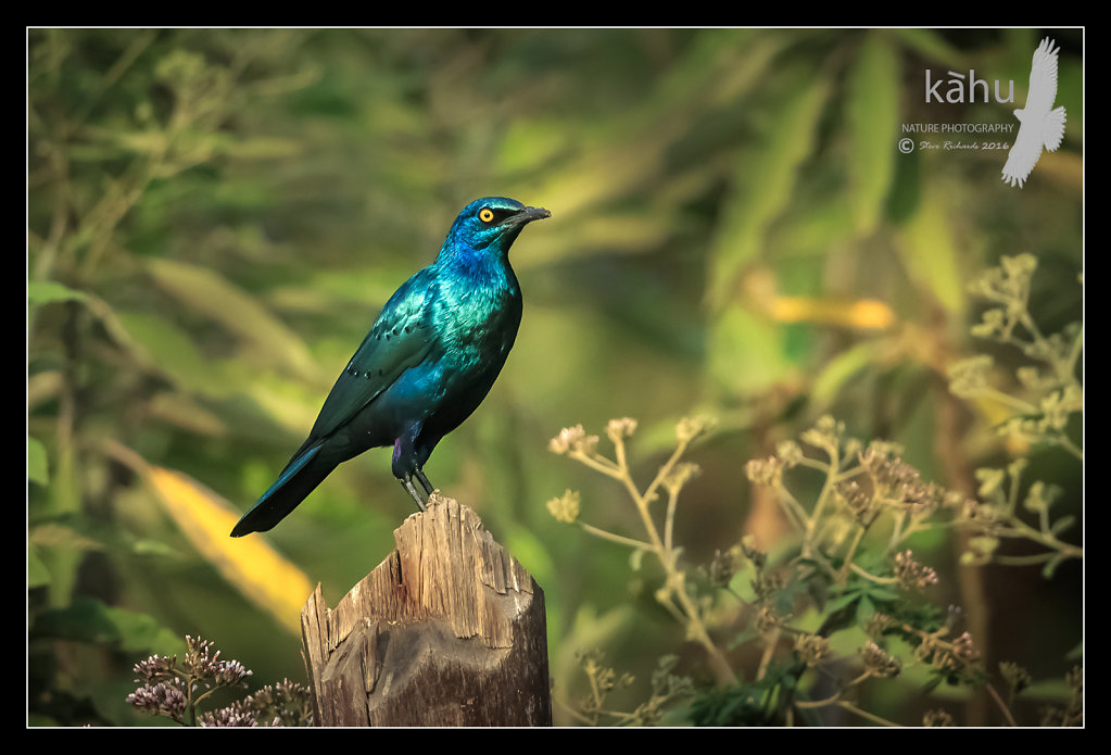 Greater-Blue-eared-Starling.jpg